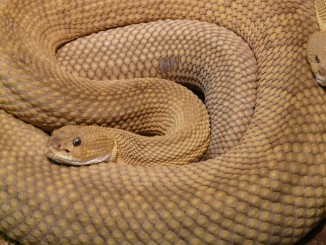 snake-basilisk-rattlesnake-7303_1920