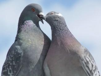 pigeons-1404259_1280