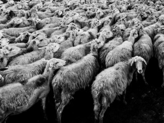 sheep pexels-photo